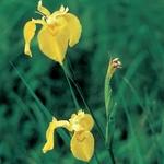 Iris d'acqua - iris pseudacorus