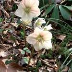 Rosa di Natale - Helleborus niger