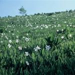 Fioritura di Narcisi - Narcissus sp
