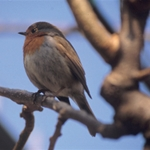 Pettirosso - Erithacus rubecula