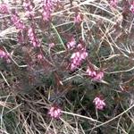 Brugo - Calluna vulgaris