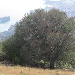 Faggio monumentale presso l'ex-Alpe Fusi