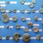 La collezione degli Ammoniti dell'Alpe Turati